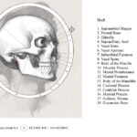Correction of the skull for the drawing on the left.